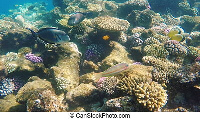 Big fish-surgeon floats over a coral reef
