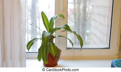 Dracaena plant stands on the windowsill, leaves stagger from...