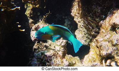 Parrot fish swimming among a coral reef