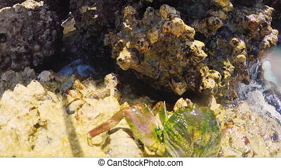 Crab jumps from rock to rock
