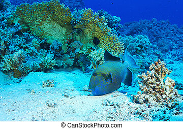 Blue triggerfish (Pseudobalistes fuscus) feeding, in the Red...
