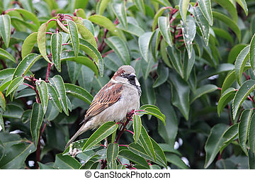 House Sparrow Passer domesticus sitting in a bush in the...