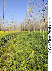 punjab poplar trees - rows of poplar trees in amongst fields...