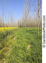 punjab poplar trees - rows of poplar trees in amongst fields...