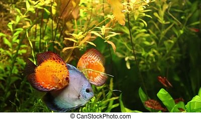 Discus fish swimming in aquarium