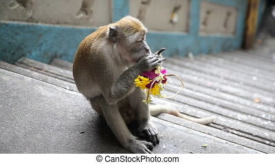 one monkey in Malaysia - lonley big Monkey in island, eat...