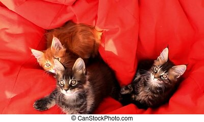 Maine Coon kittens on red couch sofa. 1920x1080 - Maine Coon...