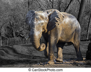 African elephant Loxodonta africana bull during musth