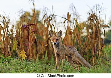 Red fox in the garden, autumn landscape, wild animal