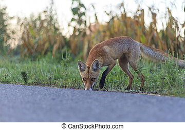 Red fox on the roadside, sniffs to trace