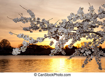 Cherry blossoms against sunset - Warm colors of cherry...