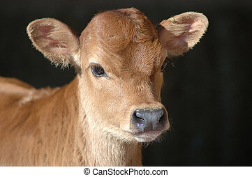 jersey calf - Portrait of Jersey calf