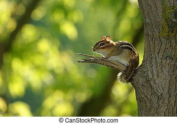 Chipmunk resting on tree branch
