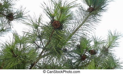 Fir tree branch with many fir cones move in wind breeze,...