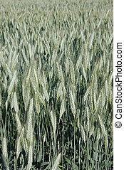 rye-corn