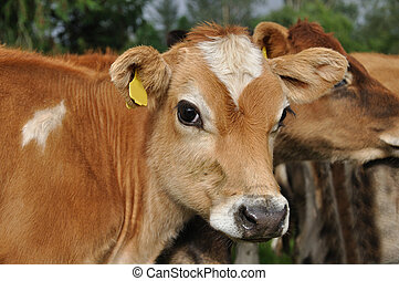 jersey calves - Portrait of Jersey calf