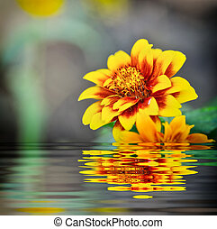 Zinnia Mexicana flower and reflect in water
