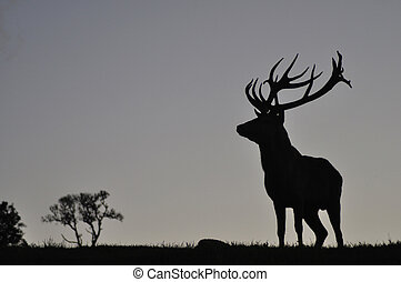 mighty stag - Silhouette of red deer stag, West Coast, South...