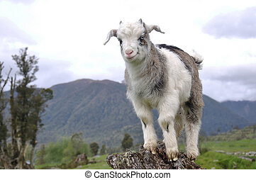 quite a kid - goat kid balancing on old tree stump, West...