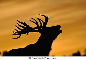 red deer stag at sunset - red deer stag, Cervus elephus,...