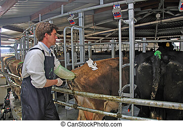 AI time - Artificial insemination technician working on a...