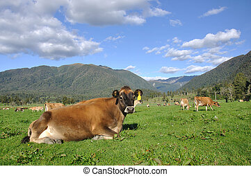 relaxed dairy cow - Jersey cow relaxed on pasture in front...
