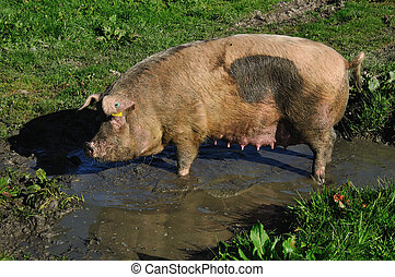 some pig - Domestic pig wallowing in a mud puddle, Westland,...
