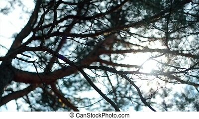 Rays of Sun Shines Through Branches of a Pine - the rays of...