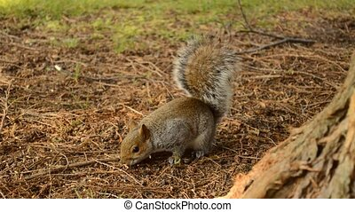 eastern grey squirrel - eastern gray or grey squirrel...
