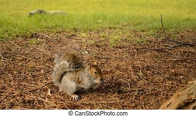 two grey squirrels - eastern gray or grey squirrel seeking...