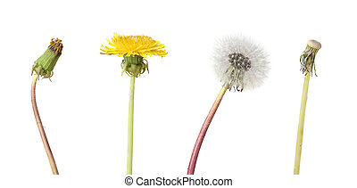 Four stage of a dandelion isolated on white backgroun
