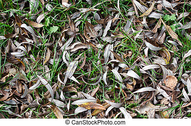 Willow leaves - Fallen leaves on the grass