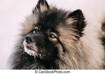 Close up of lovely Young Keeshond, Keeshonden dog in snow,...