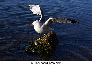 Ring-billed Gull Standing On Rock In Morning Sun