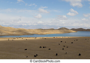 Grazing Yaks at Tulpar Lake in South Kyrgyzstan