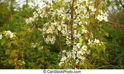 flowering pear tree in the garden HD