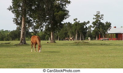 Horses Grazing By Barn - Bay horse grazes in a pasture in...