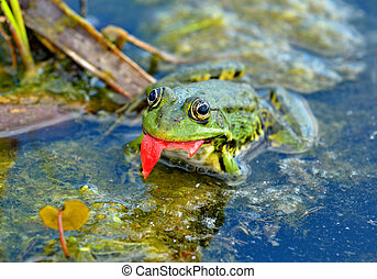 Marsh frog in the swamp - Marsh frog eats a tomato peel in...