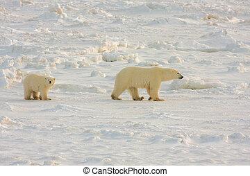 Polar bear mother and cub - Healthy polar bear mother and...