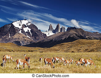 Torres del Paine, Patagonia, Chile - Herd of guanaco in...