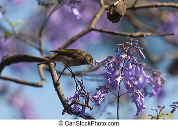 jacaranda, ramas, pájaro