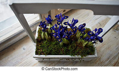 Blue irises in a box with handle, stand on the window sill