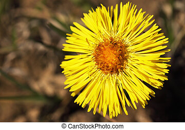 coltsfoot - Coltsfoot bloom in spring / the medicinal flower