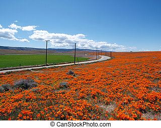 Poppy Highway - Orange poppies, green fields and open...