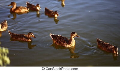 Ducks swim in the pond