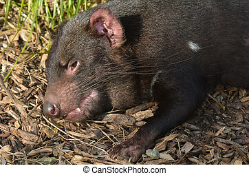 Tasmanian devil resting Endangered animal found in the wild...