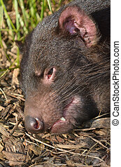 Tasmanian devil face. Endangered animal found in the wild...