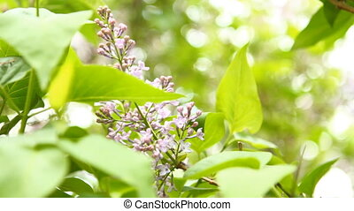 blooming lilac swaying in the wind, shallow depth of field