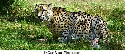 Gepard, essende, sbeute, süden, afrikanisch