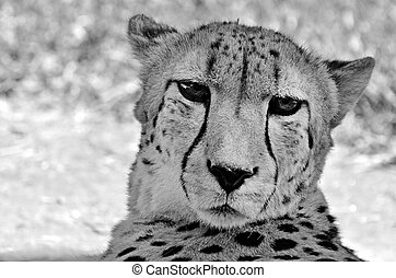 South African cheetah face up close and personal